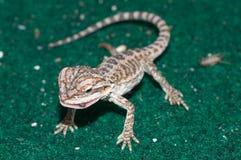 Bebê Dragon Eating farpado imagens de stock royalty free