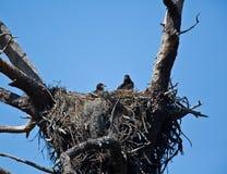 Bebê Eagles Foto de Stock