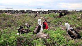 Bebê Frigatebirds magnífico que senta-se nos ninhos em Seymour Island norte, parque nacional de Galápagos, Equador filme