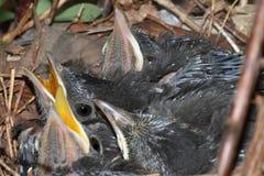 Bebê Gray Catbird (carolinensis do Dumetella) Fotos de Stock