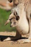 Bebê Joey no malote Foto de Stock