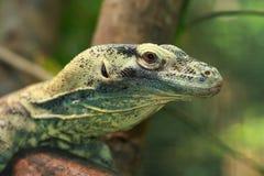 Bebê Komodo Imagem de Stock