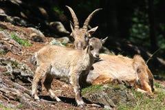 Bebê na região de Chamonix, França do íbex imagens de stock