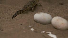 Bebê Orinoco Croc | Ovos Unhatched, parque de Wisirare vídeos de arquivo