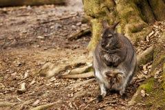 Bebê do canguru vith Fotografia de Stock Royalty Free
