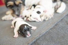 Bebê recém-nascido do cão - velho de um dia - cachorrinho do terrier de russell do jaque imagem de stock