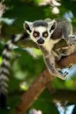 Bebê Ring Tailed Lemur fotografia de stock