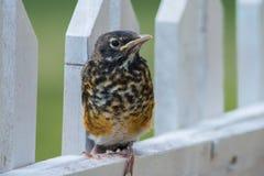 Bebê Robin Bird Foto de Stock Royalty Free