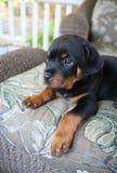 Bebê Rottweiler Foto de Stock