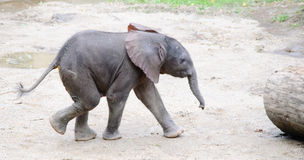 Bebê running do elefante africano Foto de Stock Royalty Free