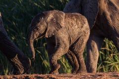 Bebê selvagem do elefante que toma uma etapa Fotografia de Stock Royalty Free
