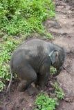 Bebê tailandês do elefante Foto de Stock Royalty Free
