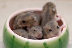 Bebês 12 do hamster Fotografia de Stock Royalty Free