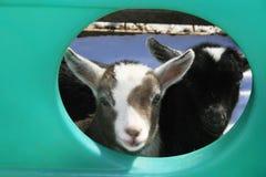 Bebês adoráveis da cabra do pigmeu. Fotos de Stock
