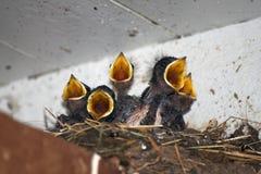 Bebês da andorinha Foto de Stock