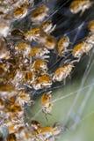 Bebês da aranha em uma Web imagens de stock