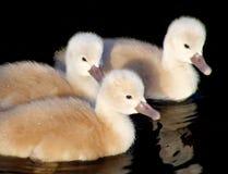 Bebês da cisne imagem de stock