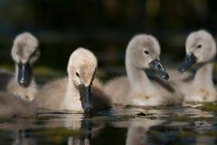 Bebês da cisne - cisnes novos em um dia de verão foto de stock