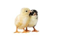 Bebês da galinha Fotos de Stock Royalty Free