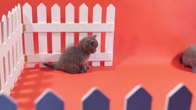 Bebês de Ingleses Shorthair perto de uma cerca branca video estoque