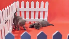 Bebês de Ingleses Shorthair perto de uma cerca branca vídeos de arquivo