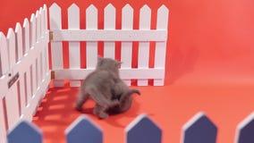 Bebês de Ingleses Shorthair perto de uma cerca branca filme