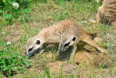 Bebês de Meerkat Foto de Stock Royalty Free