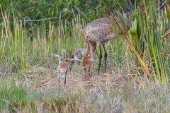 Bebês do canadensis de Sandhill Crane Grus conhecidos de outra maneira como potros Foto de Stock Royalty Free