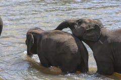 Bebês do elefante imagem de stock royalty free
