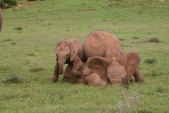 Bebês do elefante Foto de Stock