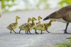 Bebês do ganso de Canadá Imagem de Stock