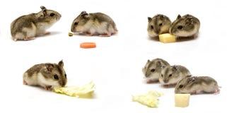 Bebês do hamster Foto de Stock Royalty Free