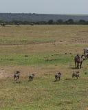 Bebês do javali africano na corrida Fotografia de Stock