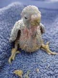 Bebês do pássaro imagem de stock