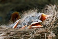 Bebês do tordo-zorzal nos pilaris do Turdus do ninho Fotos de Stock