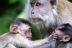 Bebês e matriz do macaco Fotografia de Stock