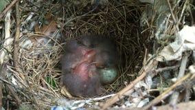 Bebês e ovo dobro do pássaro no ninho video estoque