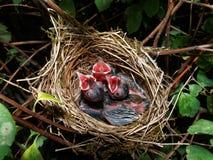 Bebês euro-asiáticos do blackcap no ninho (atricapilla de Sylvia) Imagens de Stock