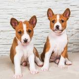 Bebês pequenos engraçados dois cães de cachorrinhos de Basenji no fundo branco da parede imagem de stock royalty free
