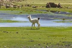 Bebé blanco del lama Imagenes de archivo