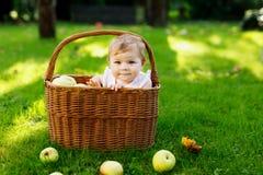 Beb? bonito que senta-se na cesta completamente com ma??s maduras em uma explora??o agr?cola no outono adiantado Beb? pequeno que fotos de stock
