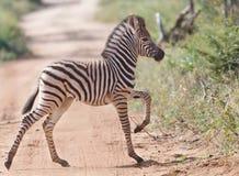 Bebê da zebra que cruza a estrada Foto de Stock Royalty Free