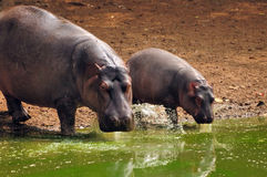 Bebê do hipopótamo com matriz Fotografia de Stock