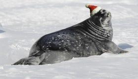 Bebê do selo de Weddell no Natal Fotografia de Stock