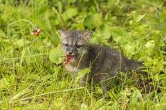 Bebé Gray Fox Eating Flower Imagen de archivo