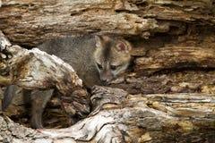 Bebé Grey Fox en guarida Fotografía de archivo