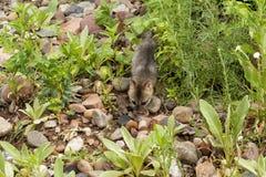 Bebé Grey Fox Exploring Fotos de archivo