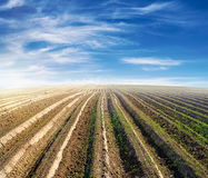 Bebautes Feld über blauem Himmel am Sommer Stockfotos