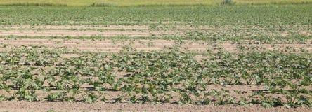 bebautes Feld der Zucchini in der Blüte während des Sommers Lizenzfreie Stockbilder