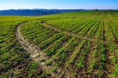 Bebautes Feld im Frühjahr mit jungen Ernten Stockbild